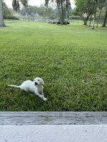 Labrador Retriever Puppies for sale in Lutz, FL, USA. price: NA