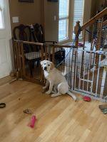 Labrador Retriever Puppies for sale in Aurora, IL 60504, USA. price: NA