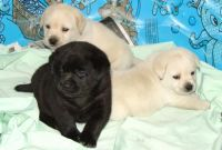 Labrador Retriever Puppies for sale in Eugene, OR 97405, USA. price: NA