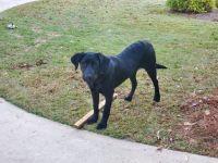 Labrador Retriever Puppies for sale in Blythewood, SC, USA. price: NA