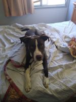 Labrador Retriever Puppies for sale in Hutchinson, KS, USA. price: NA