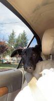 Labrador Retriever Puppies for sale in Lake Oswego, OR, USA. price: NA