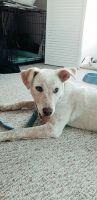 Labrador Retriever Puppies for sale in Eureka, IL 61530, USA. price: NA