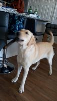 Labrador Retriever Puppies for sale in Clermont, FL, USA. price: NA