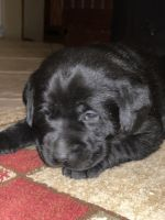 Labrador Retriever Puppies for sale in Houston, OH 45333, USA. price: NA