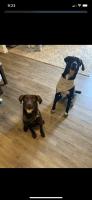 Labrador Retriever Puppies for sale in Camargo, KY 40353, USA. price: NA