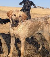Labrador Retriever Puppies for sale in Peyton, CO 80831, USA. price: NA