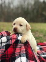Labrador Retriever Puppies for sale in Dickson, TN, USA. price: NA