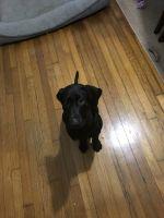 Labrador Retriever Puppies for sale in Cranston, RI, USA. price: NA