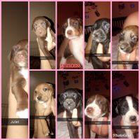 Labrador Retriever Puppies for sale in Phoenix, AZ 85025, USA. price: NA