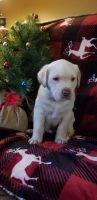 Labrador Retriever Puppies for sale in Factoryville, PA 18419, USA. price: NA