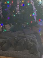 Labrador Retriever Puppies for sale in Cumberland, VA 23040, USA. price: NA