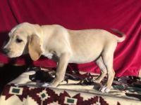 Labrador Retriever Puppies for sale in Cypress, TX, USA. price: NA