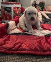 Labrador Retriever Puppies for sale in King George, VA 22485, USA. price: NA