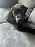 Labrador Retriever Puppies for sale in Portland, OR, USA. price: NA