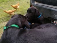 Labrador Retriever Puppies for sale in Twin Valley, MN 56584, USA. price: NA