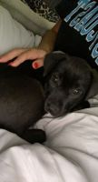 Labrador Retriever Puppies for sale in Raleigh, NC, USA. price: NA