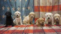 Labrador Retriever Puppies for sale in Tremont, IL 61568, USA. price: NA