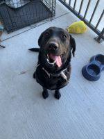 Labrador Retriever Puppies for sale in Lewisville, TX, USA. price: NA