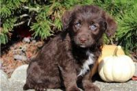 Labrador Retriever Puppies for sale in Pasadena, CA, USA. price: NA
