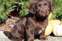 Labrador Retriever Puppies for sale in Maryland City, MD, USA. price: NA
