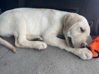 Labrador Retriever Puppies for sale in Cassville, MO 65625, USA. price: NA