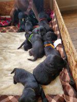 Labrador Retriever Puppies for sale in Bronson, MI 49028, USA. price: NA