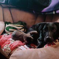 Labrador Retriever Puppies for sale in Des Moines, IA, USA. price: NA