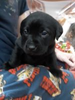 Labrador Retriever Puppies for sale in 219 1st St, Cyrus, MN 56323, USA. price: NA
