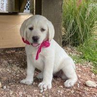 Labrador Retriever Puppies for sale in Alabama Ave, Dallas, TX 75216, USA. price: NA
