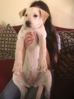 Labrador Retriever Puppies for sale in San Joaquin, CA 93660, USA. price: NA