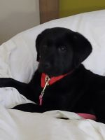 Labrador Retriever Puppies for sale in Palm Springs, FL 33461, USA. price: NA