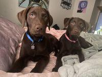 Labrador Retriever Puppies for sale in Fenton, MO 63026, USA. price: NA