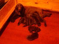 Labrador Retriever Puppies for sale in Tampa, FL, USA. price: NA