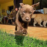 Labrador Retriever Puppies for sale in Albuquerque, NM, USA. price: NA