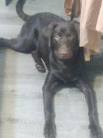 Labrador Retriever Puppies for sale in Atlanta, GA, USA. price: NA