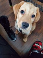 Labrador Retriever Puppies for sale in Carbondale, PA 18407, USA. price: NA
