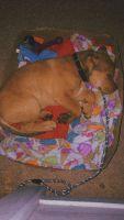 Labrador Retriever Puppies for sale in Wilson Mill Rd SW, Atlanta, GA 30331, USA. price: NA