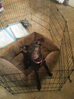 Labrador Retriever Puppies for sale in Pensacola, FL, USA. price: NA