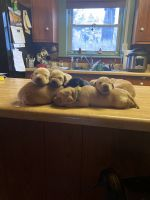 Labrador Retriever Puppies for sale in Pendleton, IN, USA. price: NA