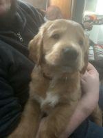 Labrador Retriever Puppies for sale in Moline, IL, USA. price: NA
