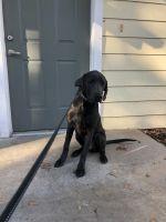 Labrador Retriever Puppies for sale in Savannah, GA, USA. price: NA