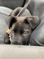 Labrador Retriever Puppies for sale in Columbus, GA, USA. price: NA