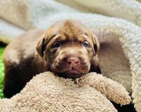 Labrador Retriever Puppies for sale in Wildomar, CA, USA. price: NA
