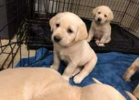 Labrador Retriever Puppies for sale in Fort Lauderdale, FL, USA. price: NA