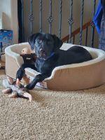 Labrador Retriever Puppies for sale in Sioux Falls, SD, USA. price: NA
