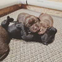 Labrador Retriever Puppies for sale in Hopkinsville, KY 42240, USA. price: NA