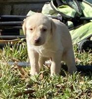 Labrador Retriever Puppies for sale in Spring, TX 77373, USA. price: NA