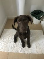 Labrador Retriever Puppies for sale in Meridian, ID, USA. price: NA