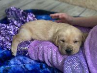 Labrador Retriever Puppies for sale in Hamlet, NC 28345, USA. price: NA